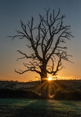 Lone dead tree at sunset